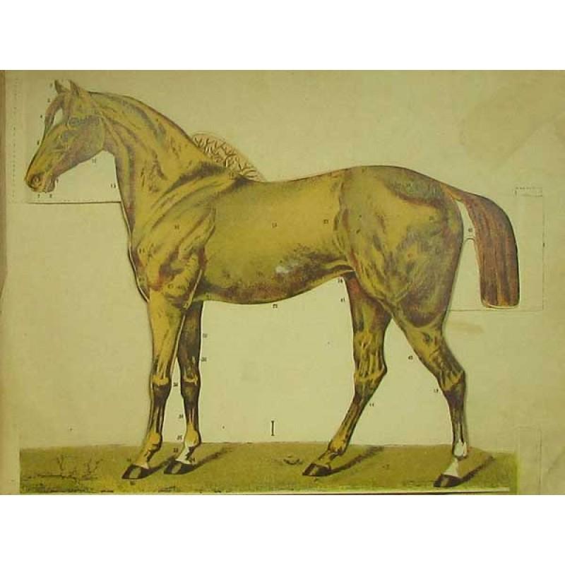 Лошадь. Анатомическое строение тела, наружные признаки, определяющие годность к работе. Разборная модель. Животные и Растения